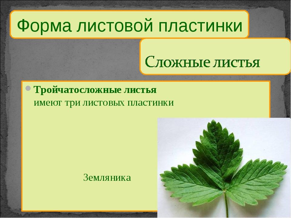 Тройчатосложные листья имеют три листовых пластинки Земляника Форма листов...