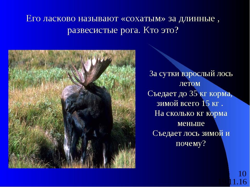 Его ласково называют «сохатым» за длинные , развесистые рога. Кто это? За сут...