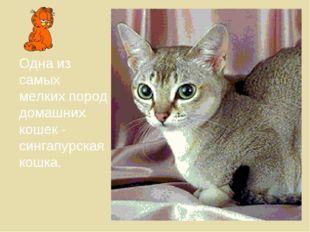 Одна из самых мелких пород домашних кошек - сингапурская кошка.