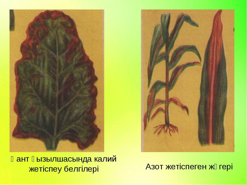 Қант қызылшасында калий жетіспеу белгілері Азот жетіспеген жүгері