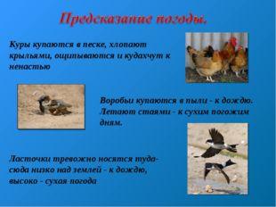 Куры купаются в песке, хлопают крыльями, ощипываются и кудахчут к ненастью Во