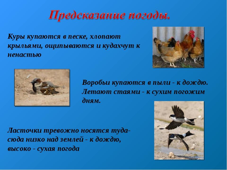 Куры купаются в песке, хлопают крыльями, ощипываются и кудахчут к ненастью Во...