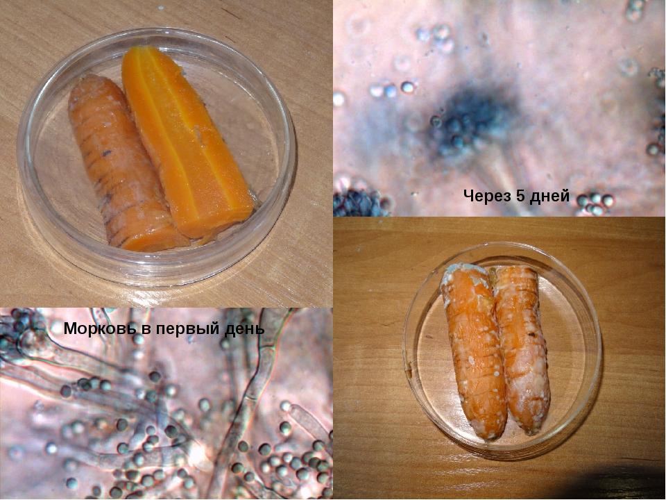 Морковь в первый день Через 5 дней