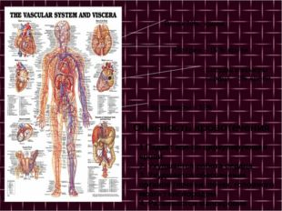 Вены-70% крови Артерии – 15 % крови Сосуды и камеры сердца – 3% крови Каппил