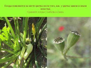 Плоды появляются на месте цветка после того, как у цветка завяли и опали лепе