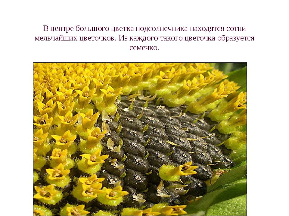 В центре большого цветка подсолнечника находятся сотни мельчайших цветочков....