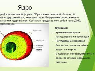Ядро Шаровидной или овальной формы. Образовано ядерной оболочкой, состоящей