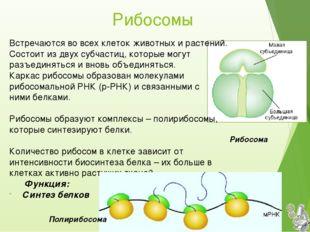 Рибосомы Встречаются во всех клеток животных и растений. Состоит из двух субч