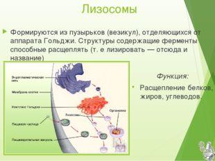Лизосомы Функция: Расщепление белков, жиров, углеводов. Формируются из пузырь