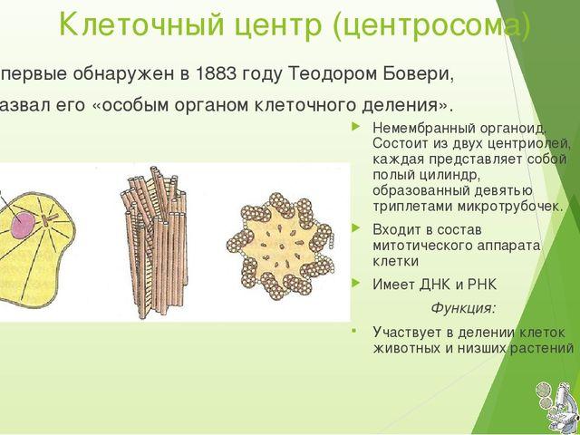 Клеточный центр (центросома) Немембранный органоид. Состоит из двух центриоле...