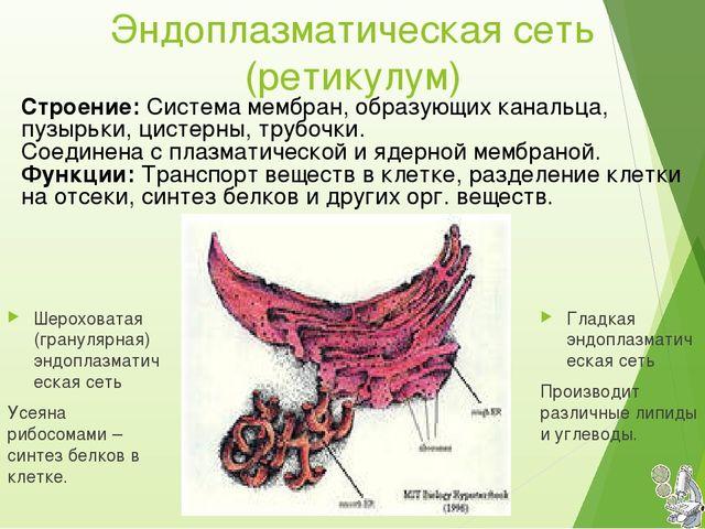 Эндоплазматическая сеть (ретикулум) Гладкая эндоплазматическая сеть Производи...