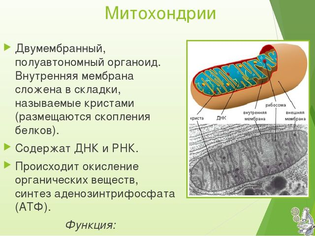 Митохондрии Двумембранный, полуавтономный органоид. Внутренняя мембрана сложе...