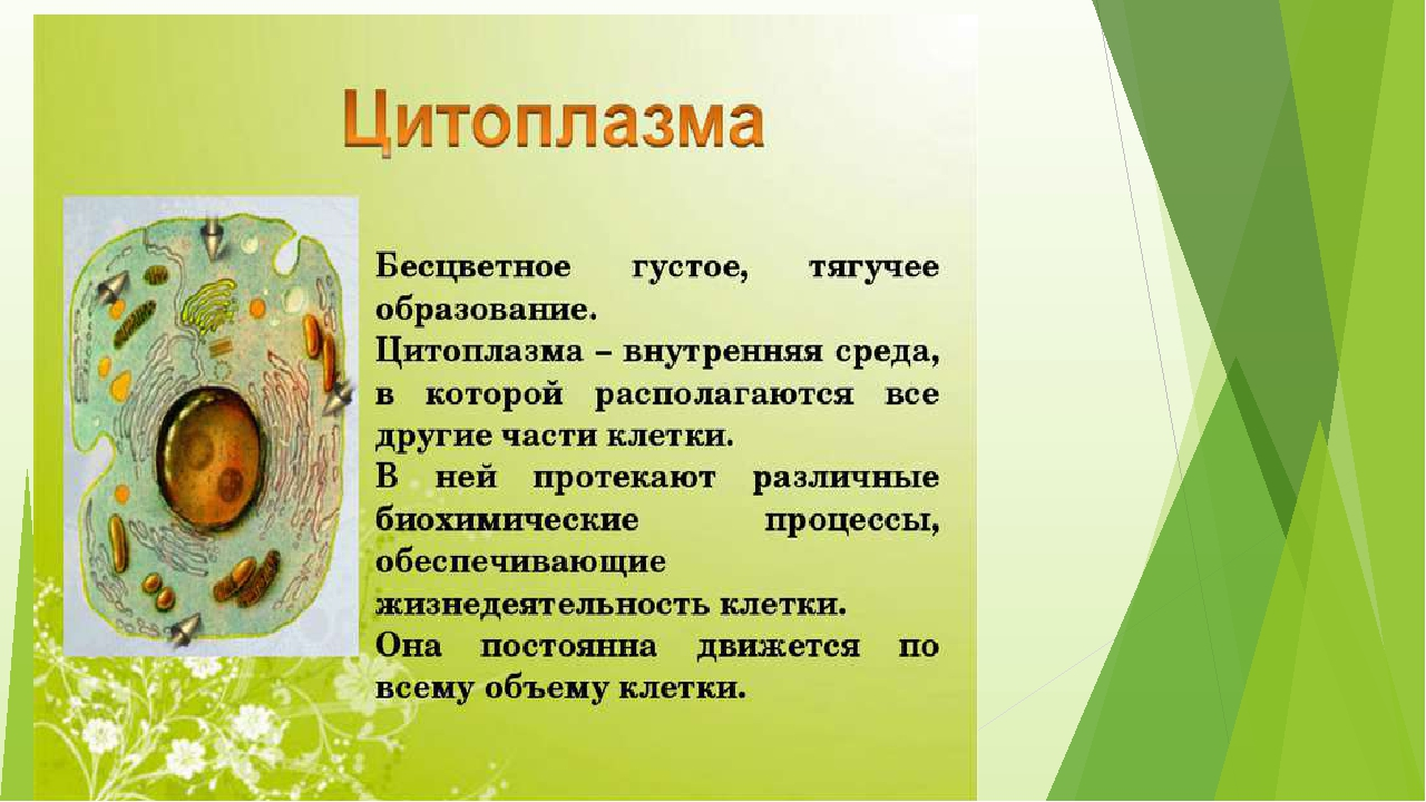 Цитоплазма