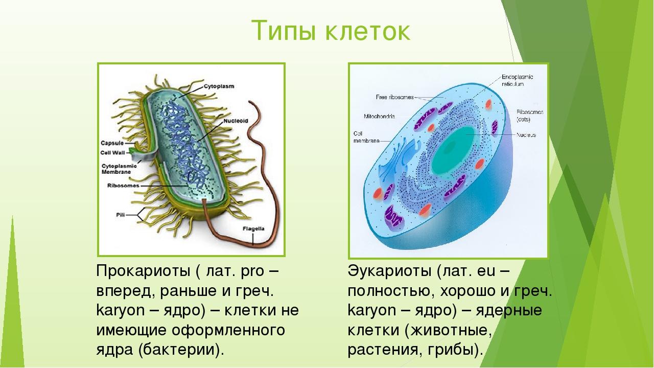 Типы клеток Прокариоты ( лат. pro – вперед, раньше и греч. karyon – ядро) – к...