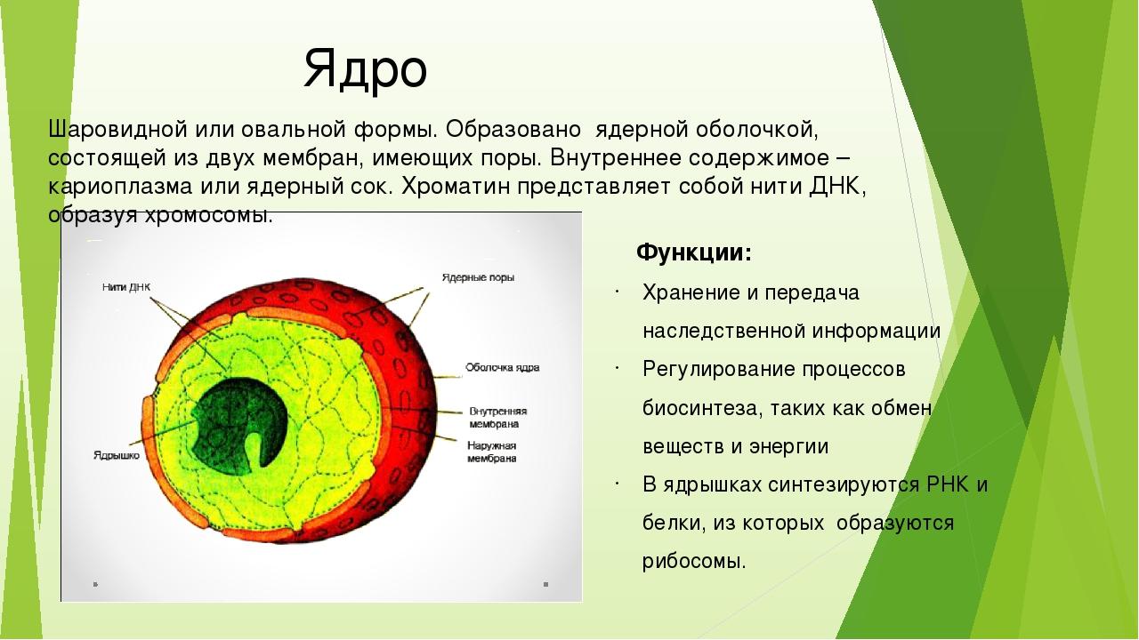 Ядро Шаровидной или овальной формы. Образовано ядерной оболочкой, состоящей...