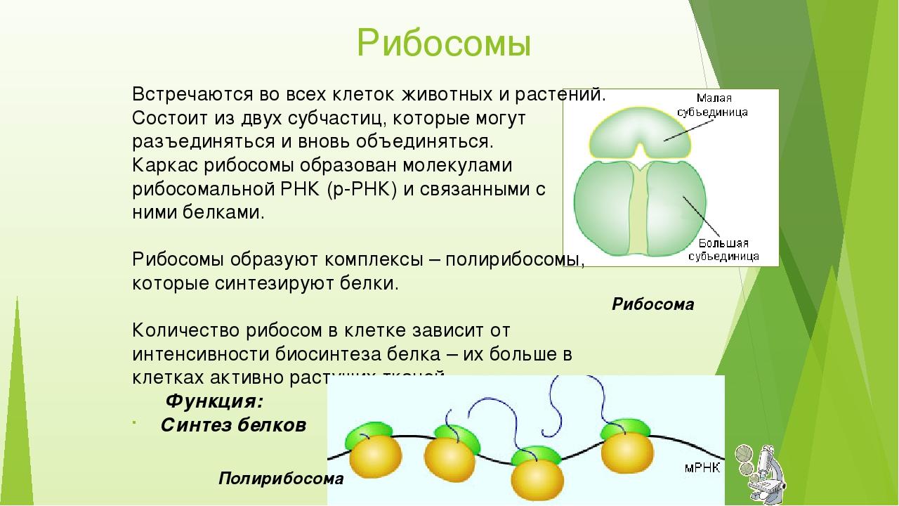 Рибосомы Встречаются во всех клеток животных и растений. Состоит из двух субч...