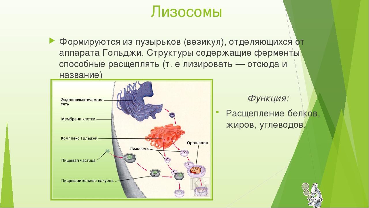 Лизосомы Функция: Расщепление белков, жиров, углеводов. Формируются из пузырь...