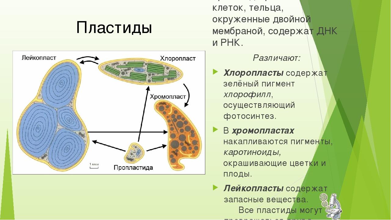 полуавтономные органоиды растительных клеток, тельца, окруженные двойной мемб...