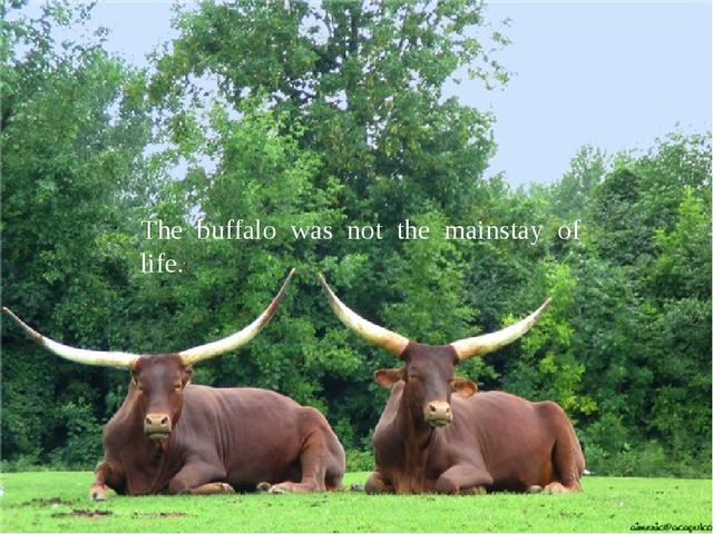 The buffalo was not the mainstay of life.