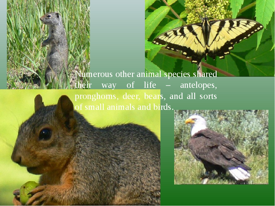 Numerous other animal species shared their way of life – antelopes, pronghorn...