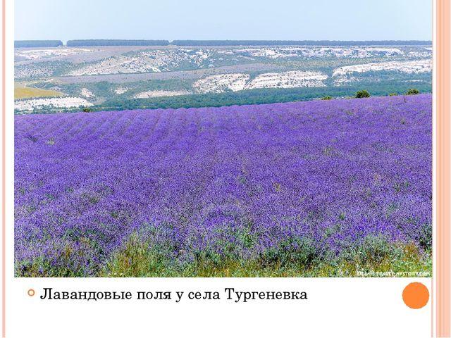 Лавандовые поля у села Тургеневка