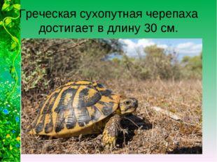 Греческая сухопутная черепаха достигает в длину 30 см.
