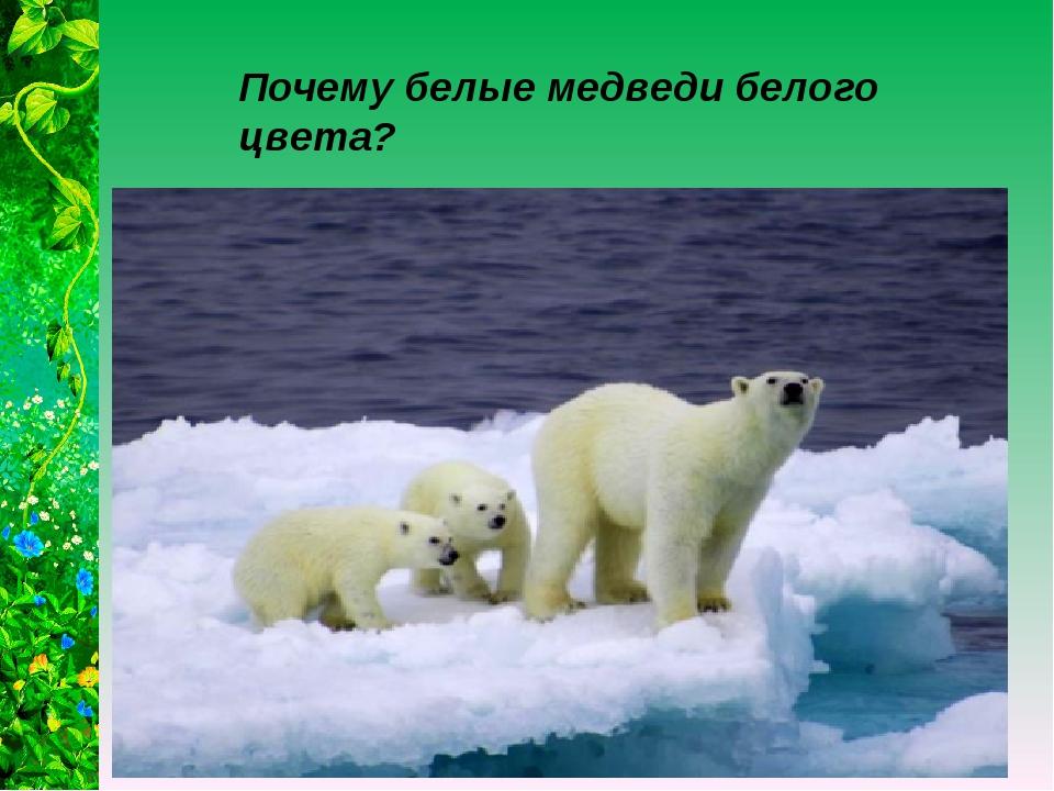Почему белые медведи белого цвета?