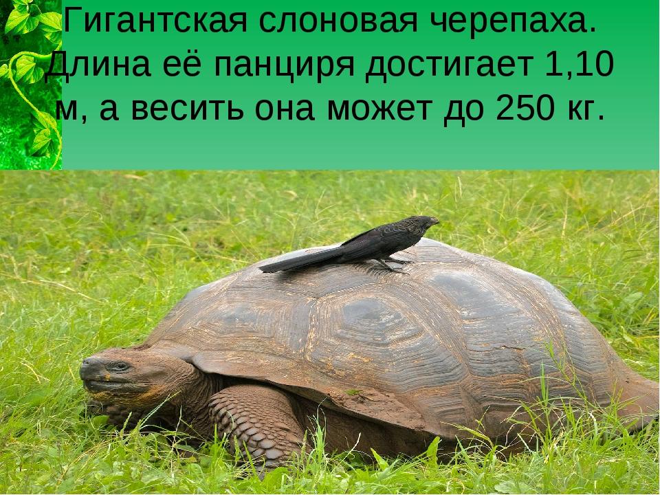 Гигантская слоновая черепаха. Длина её панциря достигает 1,10 м, а весить она...