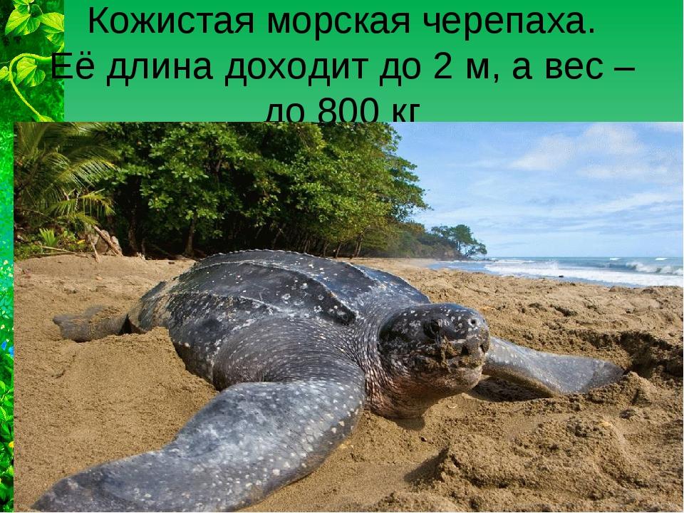 Кожистая морская черепаха. Её длина доходит до 2 м, а вес – до 800 кг