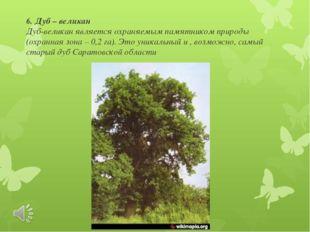 6. Дуб – великан Дуб-великан является охраняемым памятником природы (охранная