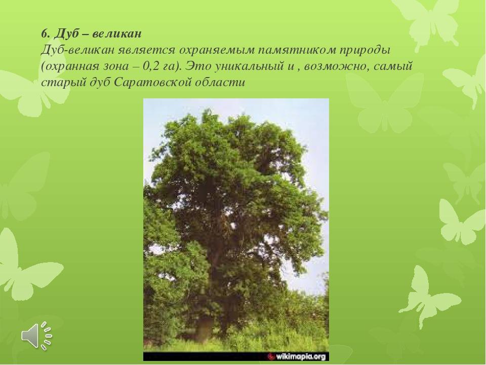 6. Дуб – великан Дуб-великан является охраняемым памятником природы (охранная...