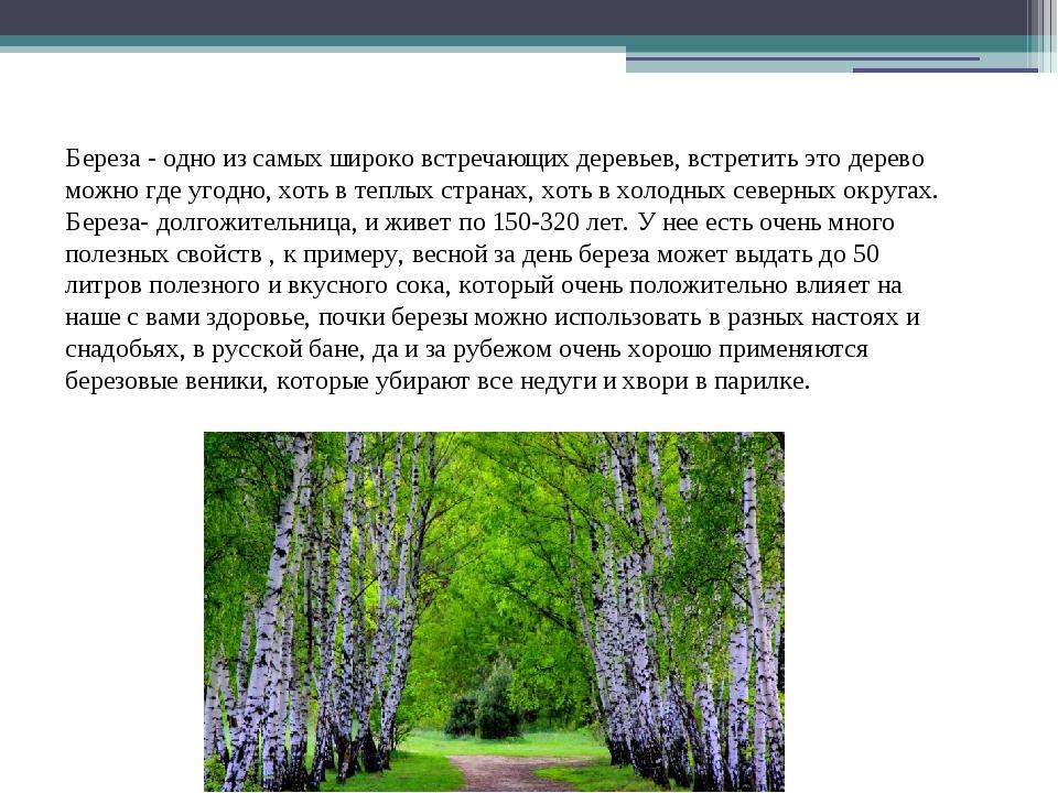 Береза - одно из самых широко встречающих деревьев, встретить это дерево можн...