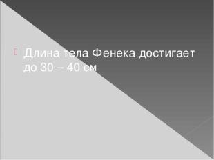 Длина тела Фенека достигает до 30 – 40 см