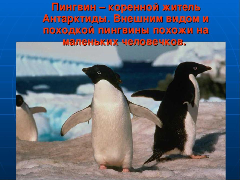 Пингвин – коренной житель Антарктиды. Внешним видом и походкой пингвины похо...