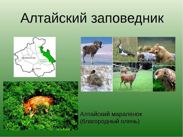 Алтайский заповедник Алтайский мараленок (благородный олень)