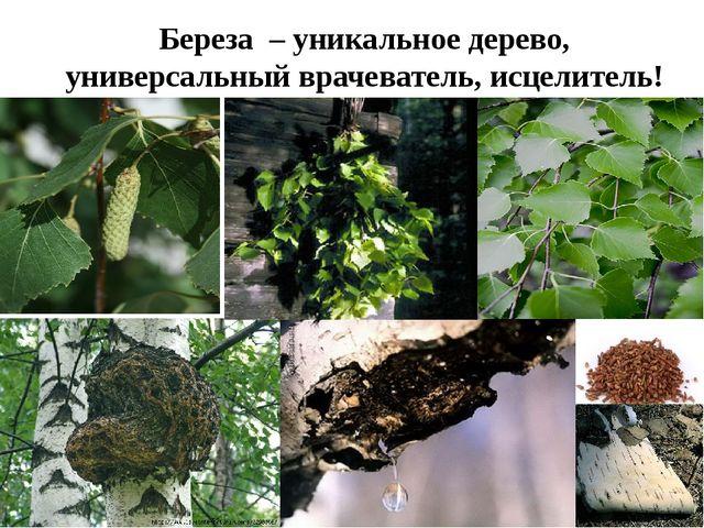 Береза – уникальное дерево, универсальный врачеватель, исцелитель!