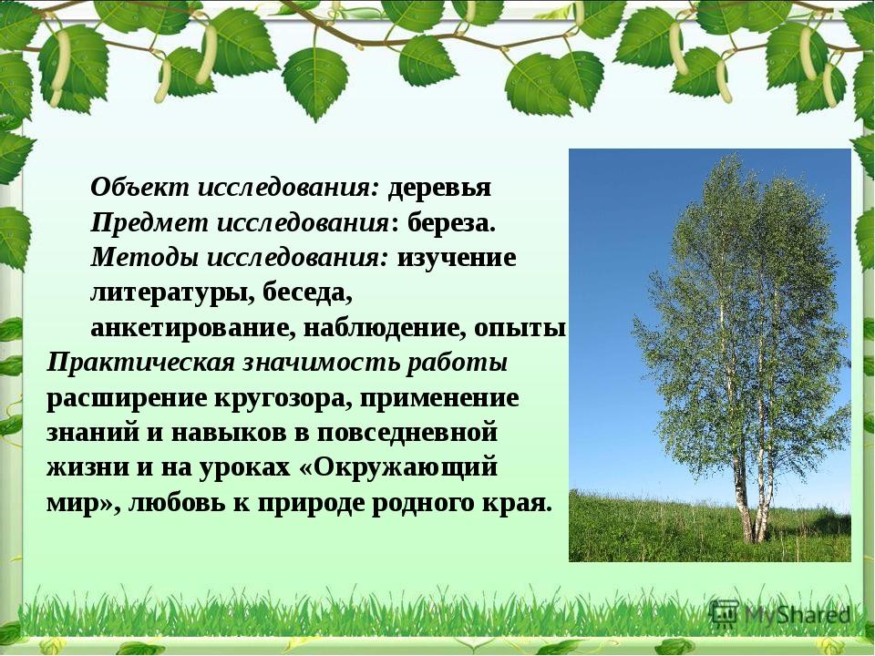 Объект исследования: деревья Предмет исследования: береза. Методы исследовани...