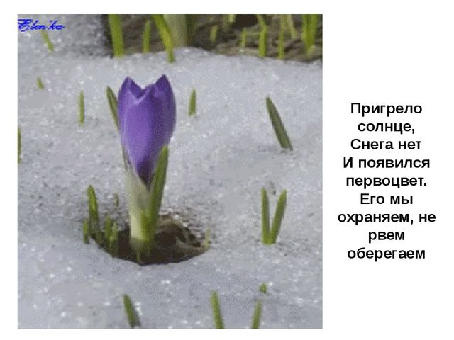 Пригрело солнце, Снега нет И появился первоцвет. Его мы охраняем, не рвем об...