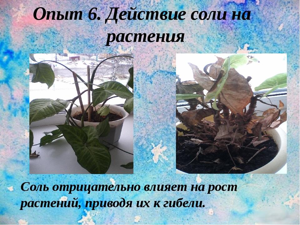 Опыт 6. Действие соли на растения. Соль отрицательно влияет на рост растений,...