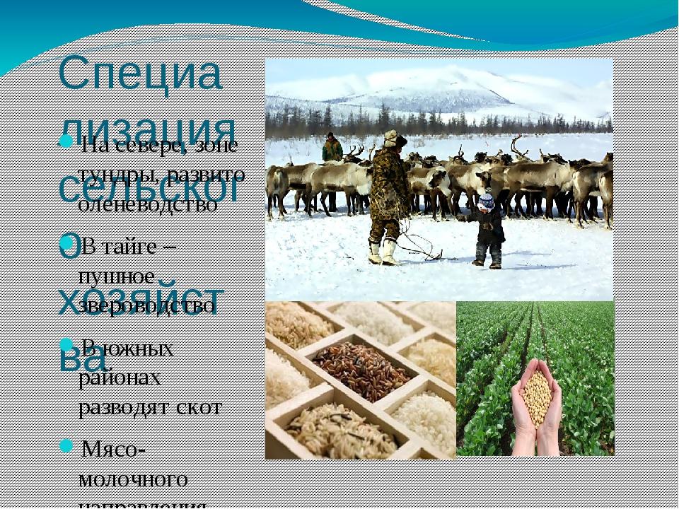 Специализация сельского хозяйства На севере, зоне тундры, развито оленеводств...