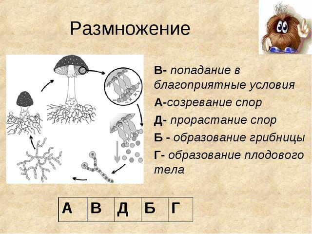 Размножение В- попадание в благоприятные условия А-созревание спор Д- прораст...