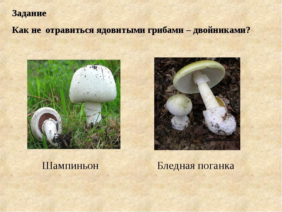 Задание Как не отравиться ядовитыми грибами – двойниками? Бледная поганка Шам...