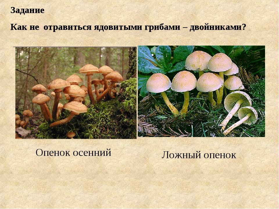 Задание Как не отравиться ядовитыми грибами – двойниками? Опенок осенний Ложн...
