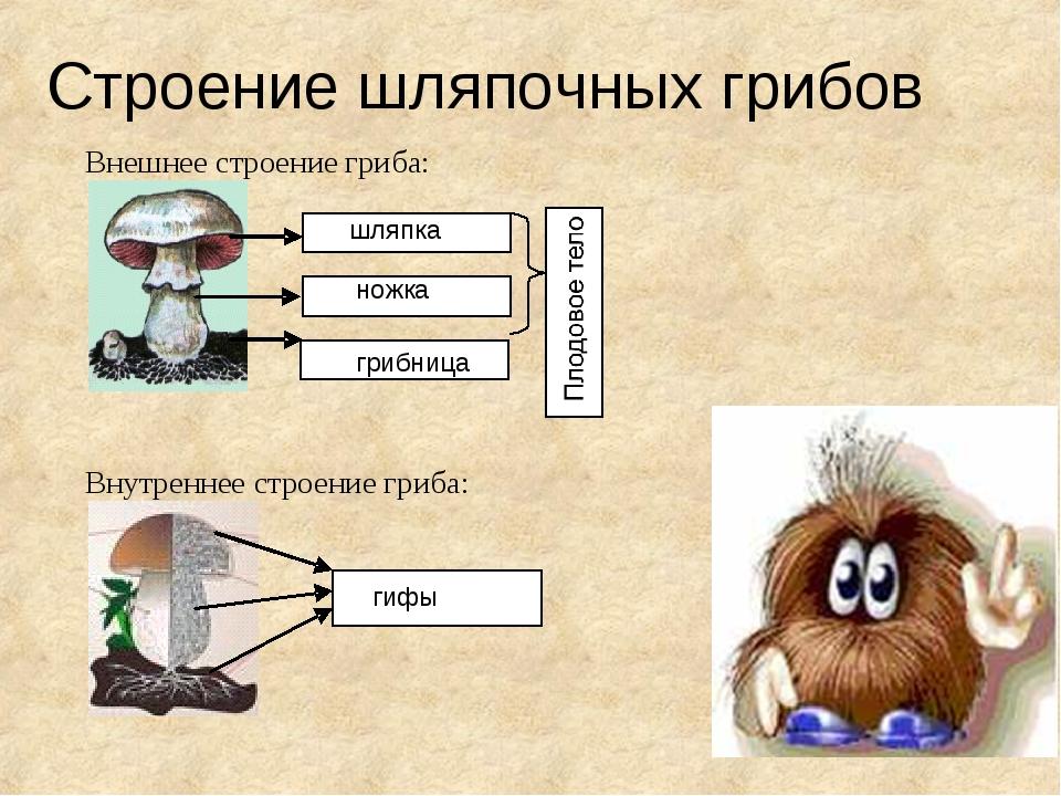Строение шляпочных грибов шляпка грибница ножка гифы