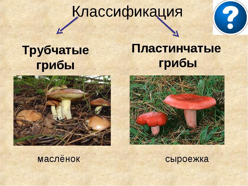 Классификация Трубчатые грибы Пластинчатые грибы маслёнок сыроежка