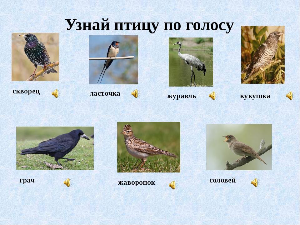 Узнай птицу по голосу скворец ласточка журавль кукушка грач жаворонок соловей
