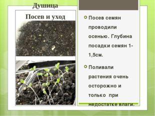 Душица Посев и уход Посев семян проводили осенью. Глубина посадки семян 1-1,5