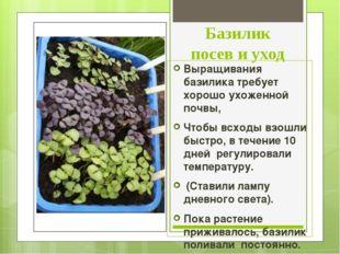 Базилик посев и уход Выращивания базилика требует хорошо ухоженной почвы, Что
