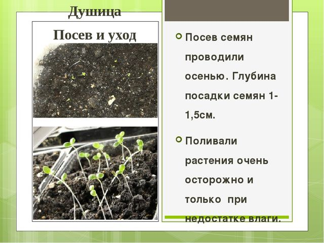 Душица Посев и уход Посев семян проводили осенью. Глубина посадки семян 1-1,5...