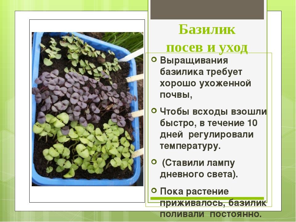 Базилик посев и уход Выращивания базилика требует хорошо ухоженной почвы, Что...